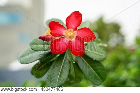 Branch Of Red Petals Adenium Flower Plant Or Desert Rose Blossom With Dew Droplets Of Water On Green