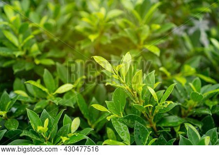 Fresh Green Leaves Of Ficus Shrub Plant With Dew Droplets Bubble Of Water On Shiny Skin Greenery Lea
