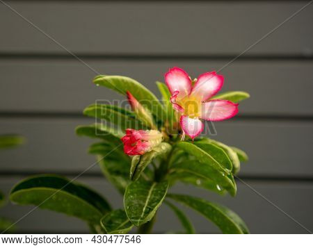 Branch Of Pink Petals Adenium Flower Plant Or Desert Rose Blossom With Dew Droplets Of Water On Gree