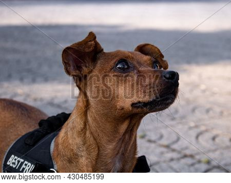 A Smart And Obedient Mixed-breed Dog Intently Staring Up At Owner Waiting For Command. Detail Of Fac