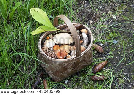 Mushrooms In A Basket. Harvesting Edible Mushrooms In The Forest. Boletus Mushrooms In A Heap In A W