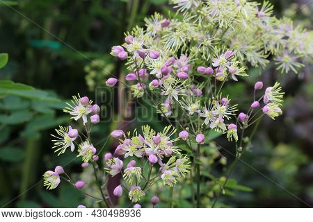 The Beautiful Pink Buds And White Flowers Of Thalictrum Delavayi Also Known As Chinese Meadow Rue. G