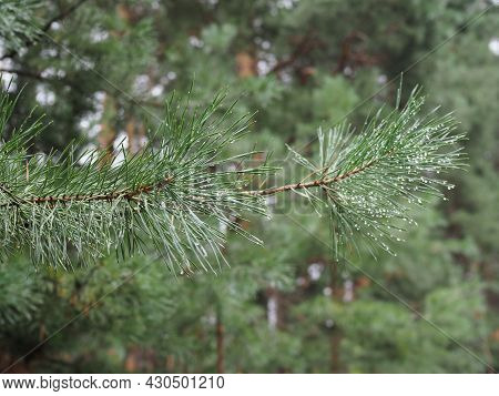 Pine Needle With Big Dewdrops After Rain