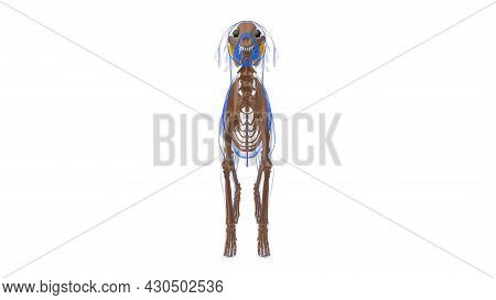 Teres Major Muscle Dog Muscle Anatomy For Medical Concept 3d Illustration