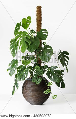 Philodendron Monstera Deliciosa And Monstera Adansonii On A Moss Pole