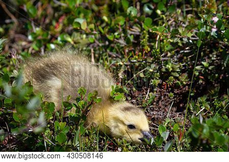 Cute Photo Of A Closeup Of A Young Gosling Hiding Among Tundra Plants