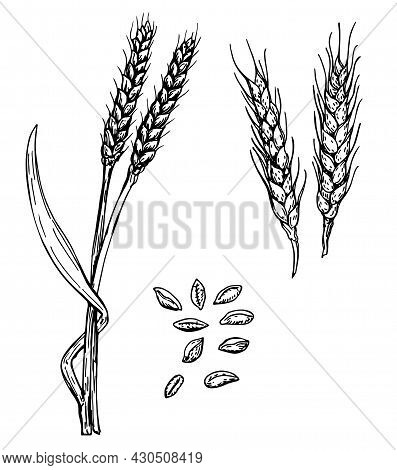 Vector Hand Drawn Wheat Ears Sketch Illustration. Grains And Ears Of Wheat. Black Ear Isolated On Wh