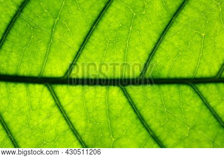 Abstract Background Of Green Leaves In Closeup Or Macro Has Detail And Structure Of Vein Or Cell Is