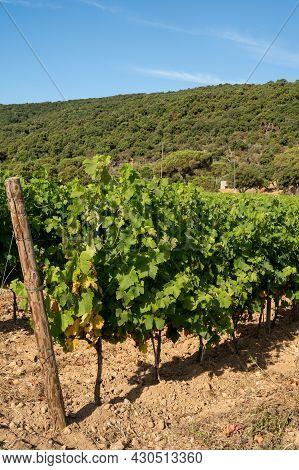Winemaking In  Department Var In  Provence-alpes-cote D'azur Region Of Southeastern France, Vineyard