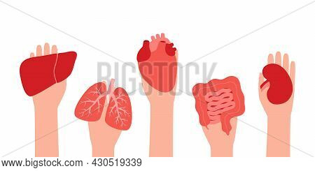 Donation Organs Liver, Lungs, Heart, Intestine Gut And Kidney. Hands Hold Donor Organs. Volunteer Do