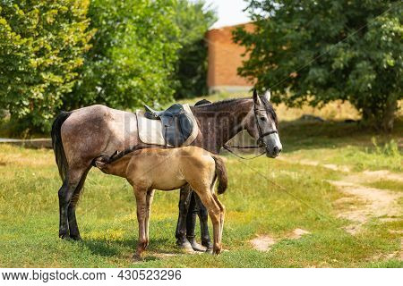 Pretty Foal Standing With Its Mother Horse And Is Eating Milk Outside. Foal Stands In A Paddock With