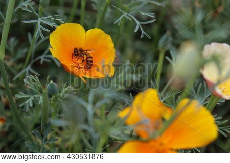 The Honey Bee Collects Nectar. Pollination Of Plants. Orange Flower. Californian Poppy Field. Backgr