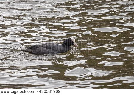 Gent, Flanders, Belgium - July 30, 2021: Closeup Of Black Coot With White Beak And Forehead On Black