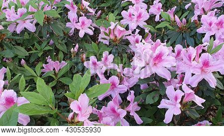 Pale Pink Azaleas, Mt Cootha Botanical Gardens, Brisbane Australia