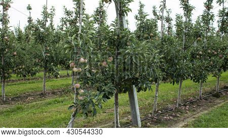 Fruit Trees With A Harvest Of Ripe Red Apples At The End Of The Summer Season. Fresh Green Grass Gro