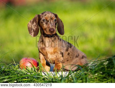 Dogs dachshunds puppy green grass,  dog portrait