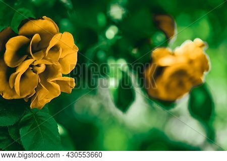 Blooming Roses In Beautiful Flower Garden As Floral Background.