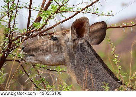 Female Greater Kudu Antelope Tragelaphus Strepsiceros Feeding From Acacia Tree, Pilanesberg National