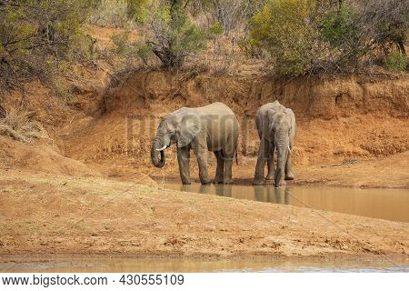 Two Elephants Drinking Water At Ruighoek Dam, Pilanesberg National Park, South Africa