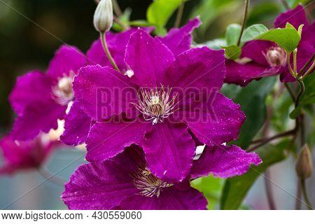 Purple Clematis Climber Flowers In Summer Cottage Garden.