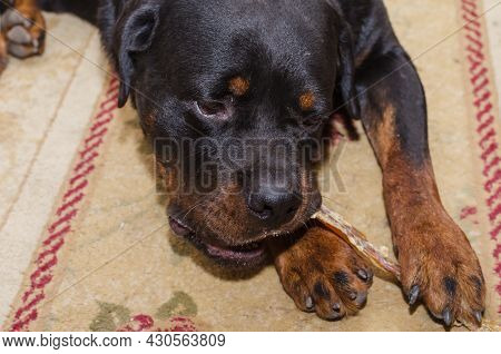 Black Dog Is Lying On Carpet And Chewing Treat. Rottweiler Is Biting Dried Beef Tendon. Pampering Be