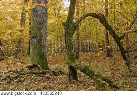 Hornbeam Trees And Broken Spruce Lying Behind, Bialowieza Forest, Poland, Europe
