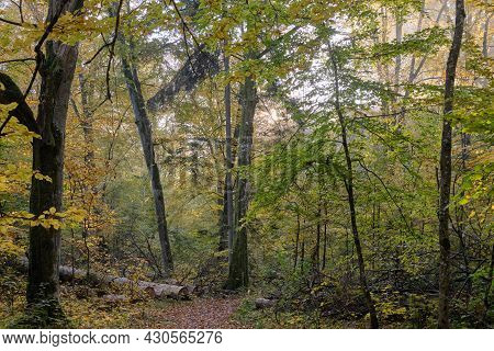 Hornbeam Trees And Broken Supruce Lying Behind, Bialowieza Forest, Poland, Europe