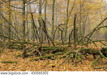 Misty Morning In Autumnal Natural Deciduous Forest With Party Declined Spruce Tree, Bialowieza Fores