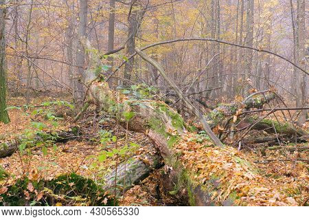 Misty Morning In Autumnal Natural Deciduous Forest, Bialowieza Forest, Poland, Europe