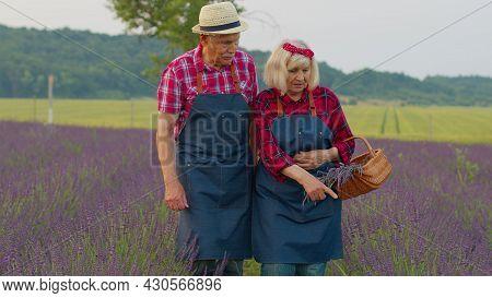 Senior Elderly Grandfather Grandmother Farmers Gathering Lavender Flowers On Summer Field. Concentra