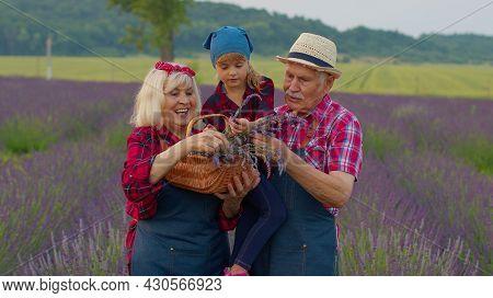 Senior Grandparents Granddaughter Farmers Growing Lavender Plant In Herb Garden Field. Family Busine