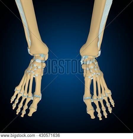 Human Bones Joints And Ligaments Anatomy For Medical Concept 3D