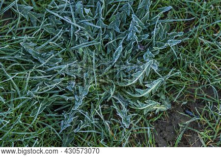 Morning Frost On Green Grass