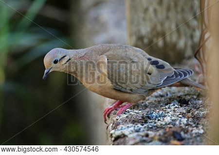Eared Dove (zenaida Auriculata) On Grenada Island, Grenada, West Indies