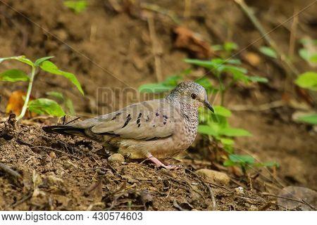 Common Ground Dove (columbina Passerina) On Grenada Island, Grenada, West Indies