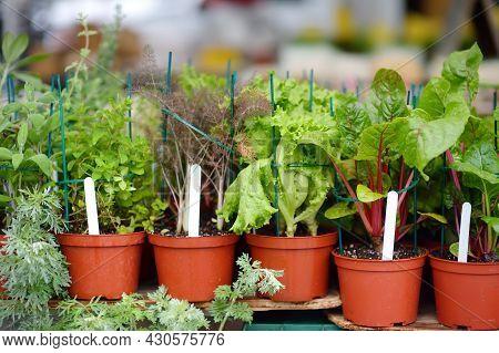 Plants In Garden Center In Early Springtime. Sale Of Varietal Seedlings Of Herbs, Salad, Veggies And