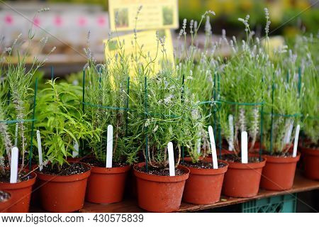 Plants In Garden Center In Early Springtime. Sale Of Varietal Seedlings Of Herbs And Flowers In Pots