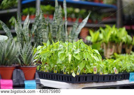 Plants In Garden Center In Early Springtime. Sale Of Varietal Seedlings Of Herbs,veggies And Flowers