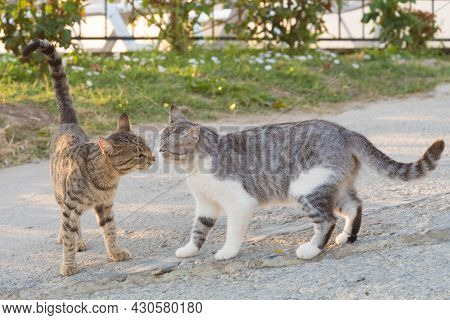 Two Cats Sniff Each Other. Meeting Of Two Cats, Cat Wedding. Novel