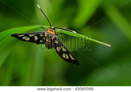 white antenna wasp moth