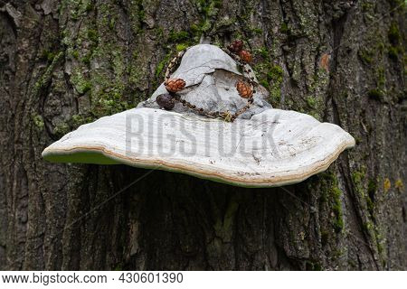 Beautiful Large Tinder Fungus Real Resembling A Wizard's Hat On A Tree Trunk With Textured Bark And