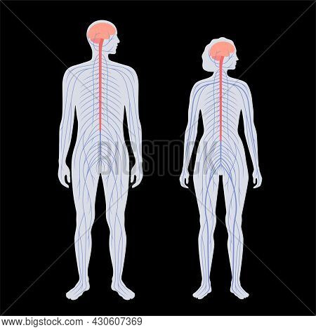 Central Nervous System. Nerves Send Electrical Signals To And From Brain And Spinal Cord In Male And