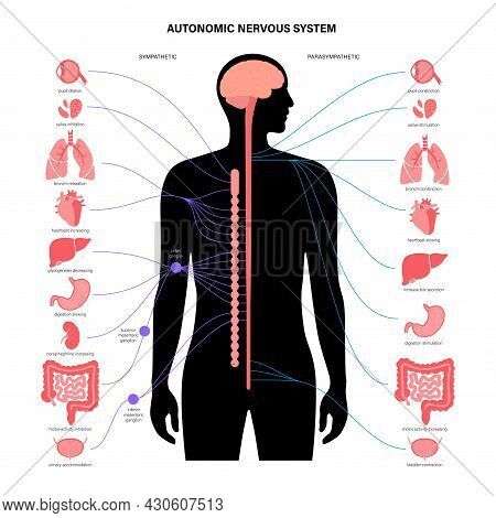 Autonomic Nervous System Infographic Poster. Spinal Cord And Internal Organs In Male Body. Sympathet