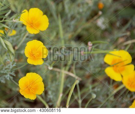 Tropaeolum Majus, Nasturtiums In The Garden. Blurry, Bokeh