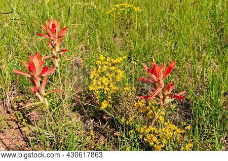 Wyoming Indian Paintbrush Wildflowers Grow In A Meadow And Flanked By Little Yellow Wildflowers.