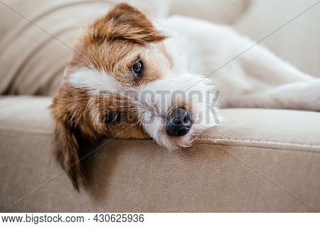 Purebred Jack Russell Terrier Lying On The Sofa And Resting.