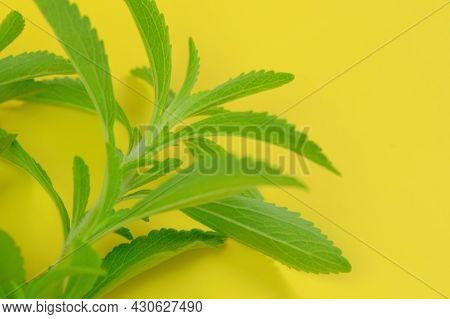 Stevia Rebaudiana. Green Branches Of Stevia On Bright Yellow Background.stevia Plant