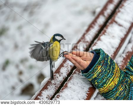 The Great Tit Eats Seeds From A Palm Of Little Boy. A Tit Bird Sitting On The Hand And Eating Seeds.