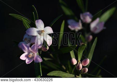 Close Up Of Australian Native Pink Waxflowers, Eriostemon Australasius, Family Rutaceae, Growing In