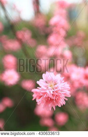 A Prunus Serrulata Pink Blossom At Spring
